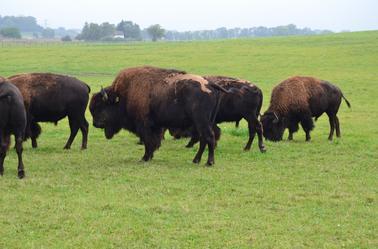 les les bison du nord