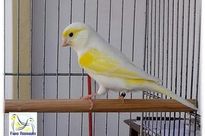 lipo jaune mosaique femelle (ligne male)