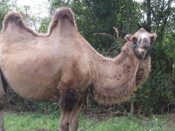 si ..certain son vache; d autre son chameau..