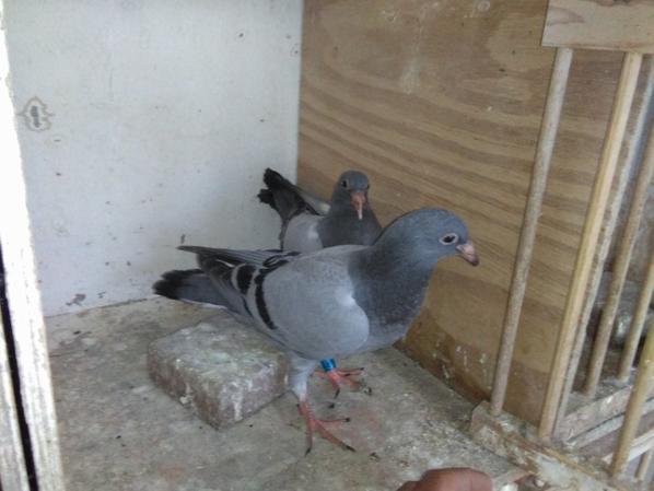 pigeon acheter a la vente de tom