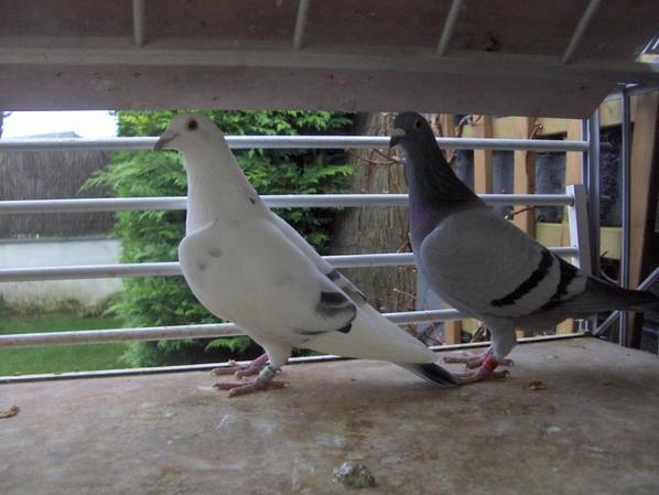 ...Nouveau couple à la reproduction...
