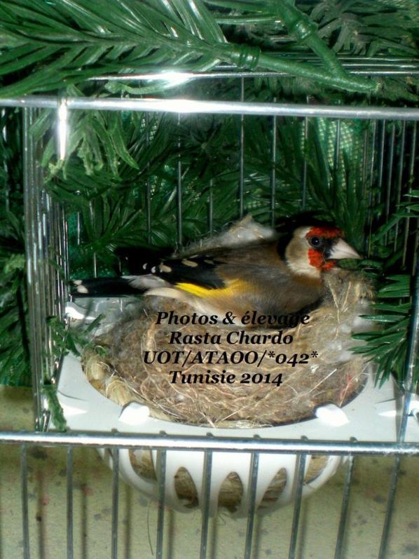 Chardonneret Femelle parva 2014 couve 5 oeufs premier tour