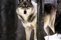 Loup.