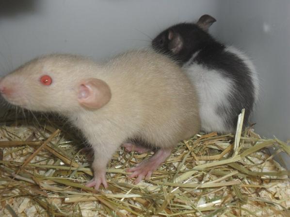 Rats siamois et un clasic