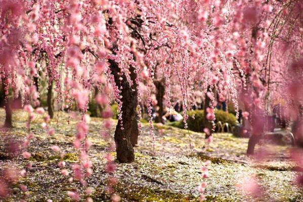 """"""" Je veux faire de toi ce que fait le printemps avec les cerisiers."""" P.Neruda (1904-1973)"""