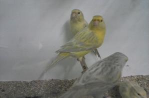 quelque oiseaux pour la bourse du national  ( lutino mosaique jaune ; lipo mosaique jaune ;agathe opale jaune et agathe opale mosaique jaune