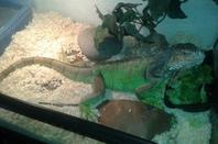 voici mon iguane il s'appelle boss
