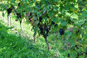 Nous aussi on a des vignes en Flandres