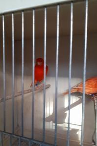 Mise en cage des Lipo (Rouge et Ivoire)