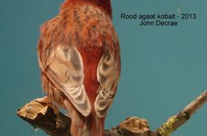 rood agaat kobalt kanarie