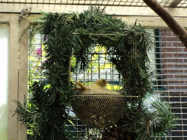 bonte groenlingen 2x popjes en een nestje met 3x bonte jongen