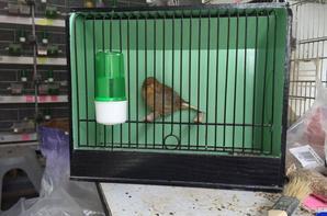 une petite femelle cinamon 2016