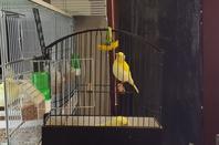 quelques fifes jaune du premier tour en cage d'expo