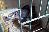 Quelques pigeons pour la saison 2021