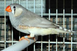 4eme couple: Mâle pastel gris + femelle grise joue noir ( 2eme portée )
