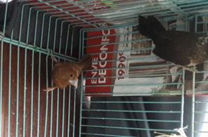 couple moineau du japon male huppé et femelle normal marron