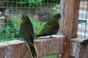 Jeunes Turquoisines Volière 5 à la sortie du nid !