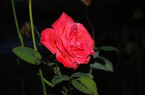 Les roses de nuit