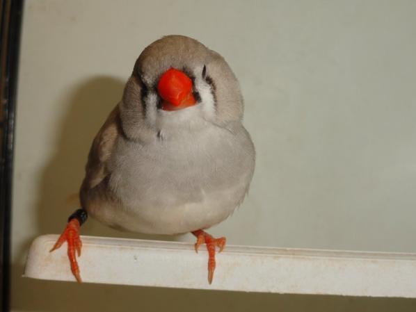 femelle gris pastel