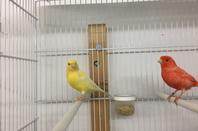mes canaris lipochrome rouge jaune et blanc
