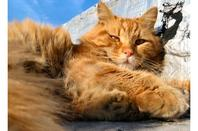 Ma passion pour les chats - L'Angora turc roux