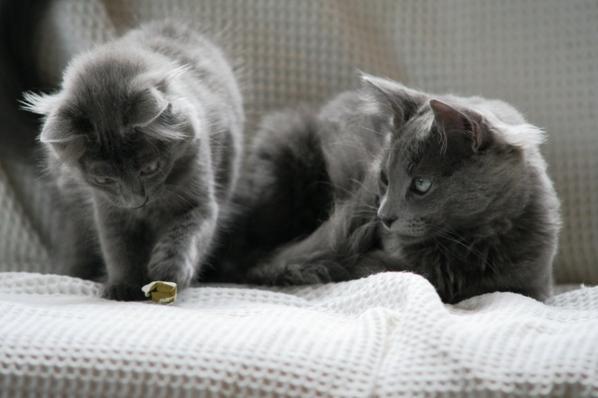 Ma passion pour les chats - L'Angora turc gris