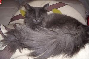 Ma passion pour les chats - L'Angora turc bleu