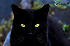 Ma passion pour les chats - LE CHAT NOIR