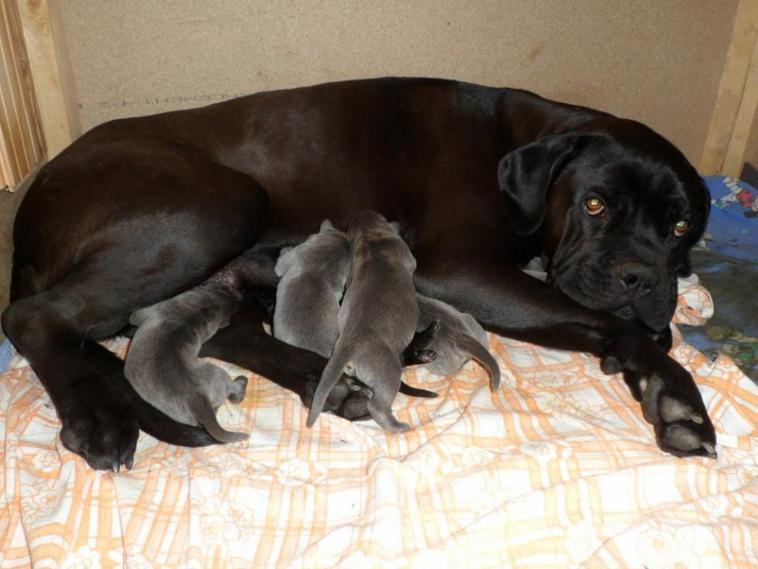 Pour Garder Vos Pigeons Superbes Chiots Cane Corso A Vendre Blog De Colombier Prevost Sebastien