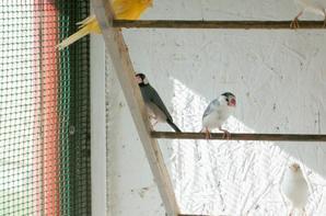 voila mes mouveaux amis de padda femelle parmis les canaris