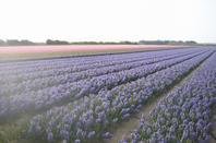 des champs a perte de vu de jacinte de couleur et de parfums