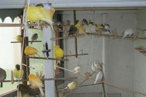bonjours a tous voila mes oiseaux de cette annèe