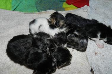 Anthéa et Gulliver  sont les heureux parents de 5 nouveaux chatons.