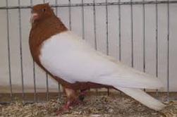 voici mes races de pigeon préferer en n°1 le voyageur le reste etant des pigeon de couleur sauf pour les damascéne et culbutant de comorn