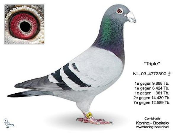 NEW PIGEON IN OUR LOFTS 2021