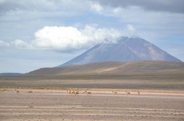 les vigognes de l'altiplano