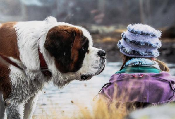 Saint Bernard...sacré chien!