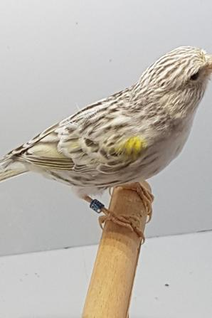 femelle topaze agate mosaïque jaune