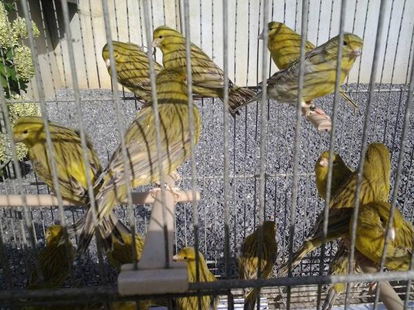 agaat geel /Agate jaune