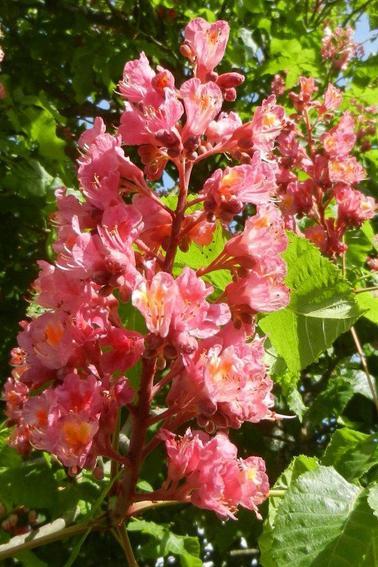 765  Marronnier rose