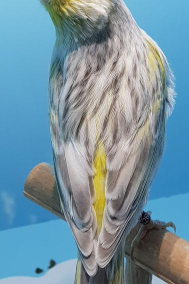 canaris opale mosaique jaune en mue