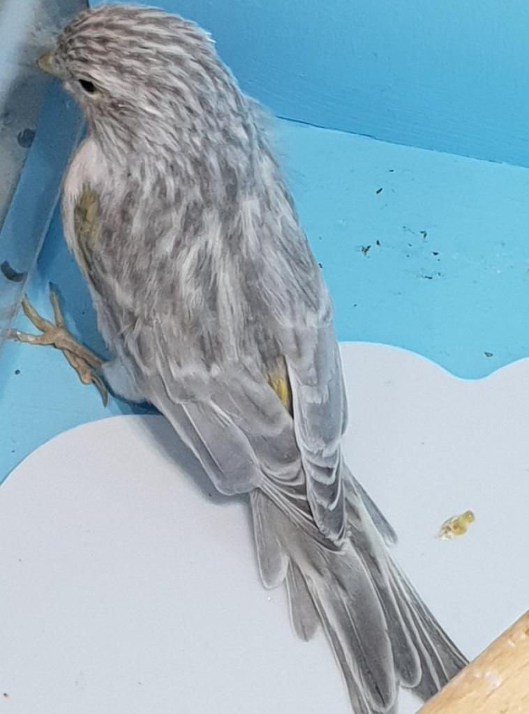 femelle jaspe jaune mosaique en mue