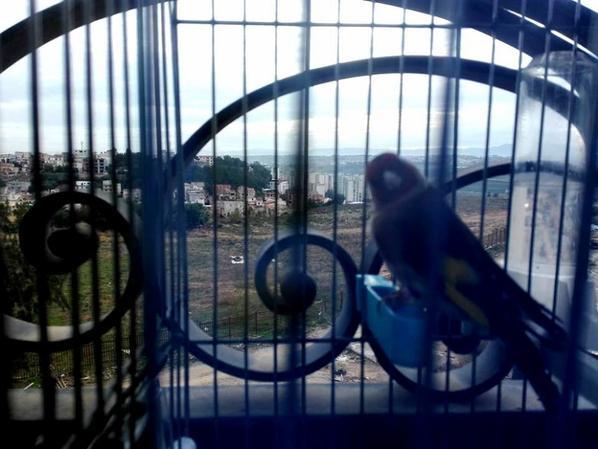 Très élégant  de : Adlano Juve #الحسون #المقنين #القرديل #سهره  #Chardonnerert #Canari #Mulet #MuletOiseau #Oiseau #Birds #Animaux #Goldfich #Jilguero #Cardellino #καρδερίνα #Sakakuşu #Chien #Chat #Pigeon #Cheval #Science #Reptile #Poisson #Plantes #Hibiscus #Alger #Algérie #Tunisie #Maroc #ChardonneretGolden