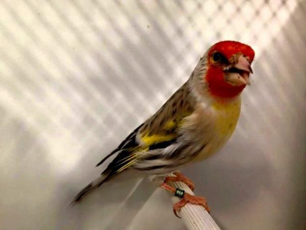 Magnifique Mulet <3 (y)  #الحسون #المقنين #القرديل #سهره #Chardonnerert #Canari #Mulet #MuletOiseau #Oiseau #Birds #Animaux #Goldfich #Jilguero #Cardellino #καρδερίνα #Sakakuşu #Chien #Chat #Pigeon #Cheval #Science #Reptile #Poisson #Plantes #Hibiscus #Alger #Algérie #Tunisie #Maroc #ChardonneretGolden