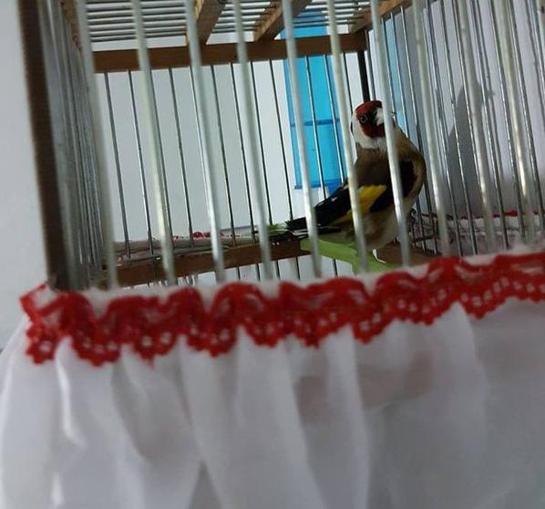 Très sublime :)  de : Abou Raad #الحسون #المقنين #القرديل #سهره #Chardonnerert #Canari #Mulet #MuletOiseau #Oiseau #Birds #Animaux #Goldfich #Jilguero #Cardellino #καρδερίνα #Sakakuşu #Chien #Chat #Pigeon #Cheval #Science #Reptile #Poisson #Plantes #Hibiscus #Alger #Algérie #Tunisie #Maroc #ChardonneretGolden