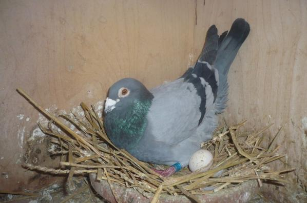 je vous presente 2 de mes meilleurs pigeon placés a la repro