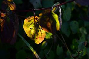juste quelques photos de feuilles d'automne ....