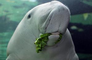 #Carte d'Identité Faune #Le Dugong