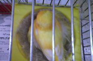 norwich female