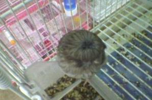 gloster blue canary chick